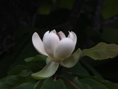 朴葉の花,タラの木,畑,ひらゆの森