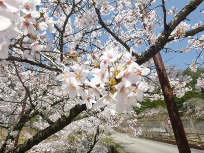 栃尾,桜,満開